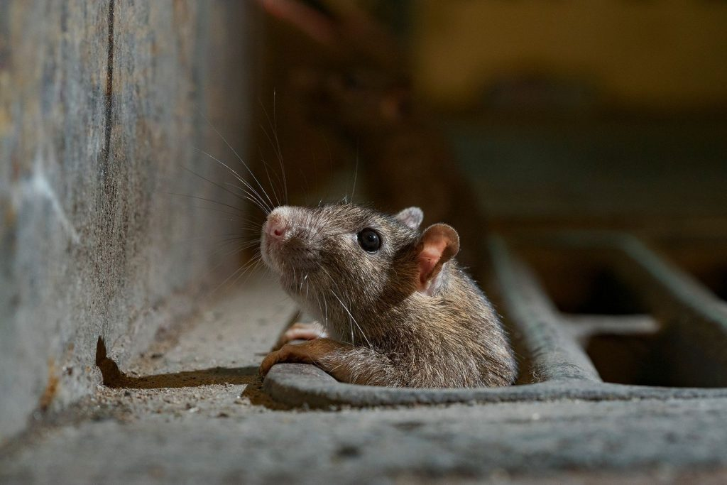 rats - TMD Environnement