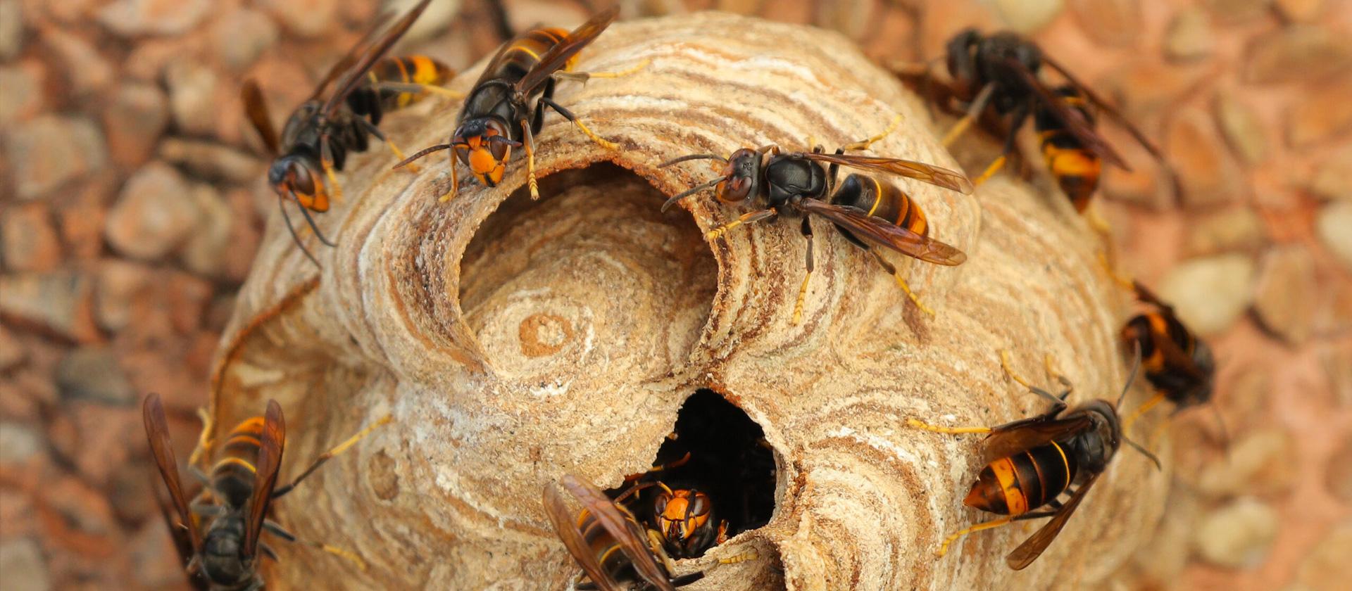 nids de frelons et guepes - TMD Environnement