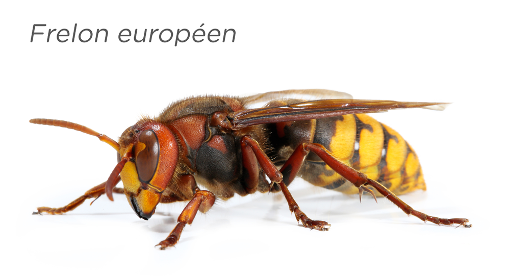 frelon européen - TMD Environnement