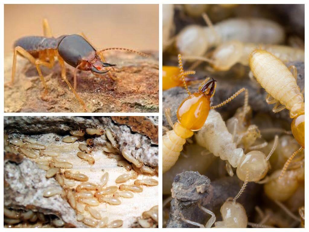 termite TMD Environnement